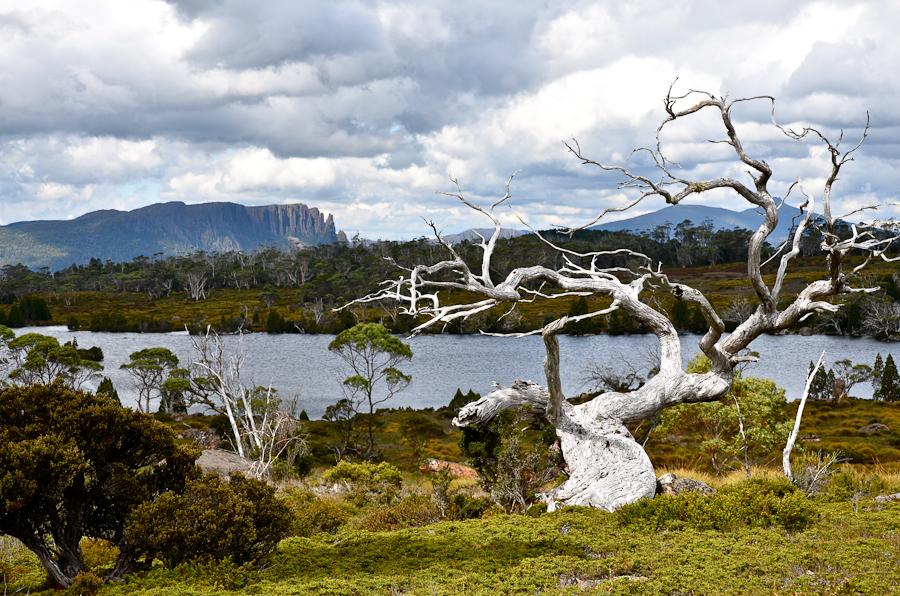 Arbre centenaire de Tasmanie